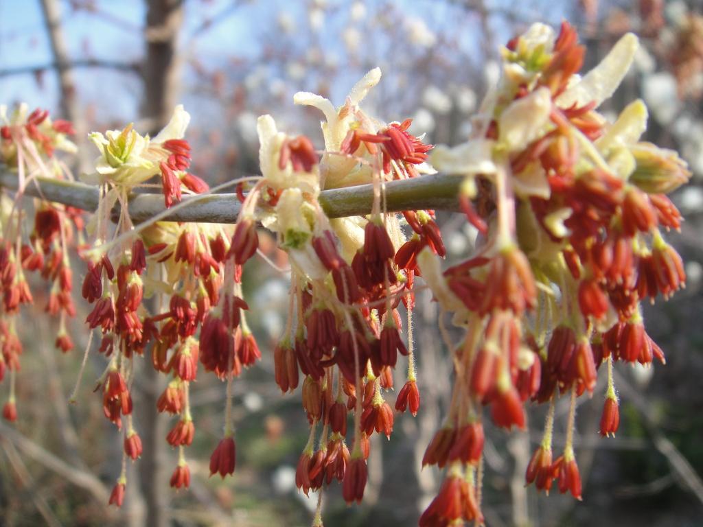 ネグンドカエデ:ケリーズゴールドの花4月5日撮影