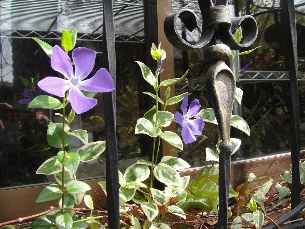 窓辺に寄り添うように、いくつもの花を咲かせ始めたつるニチニチ草