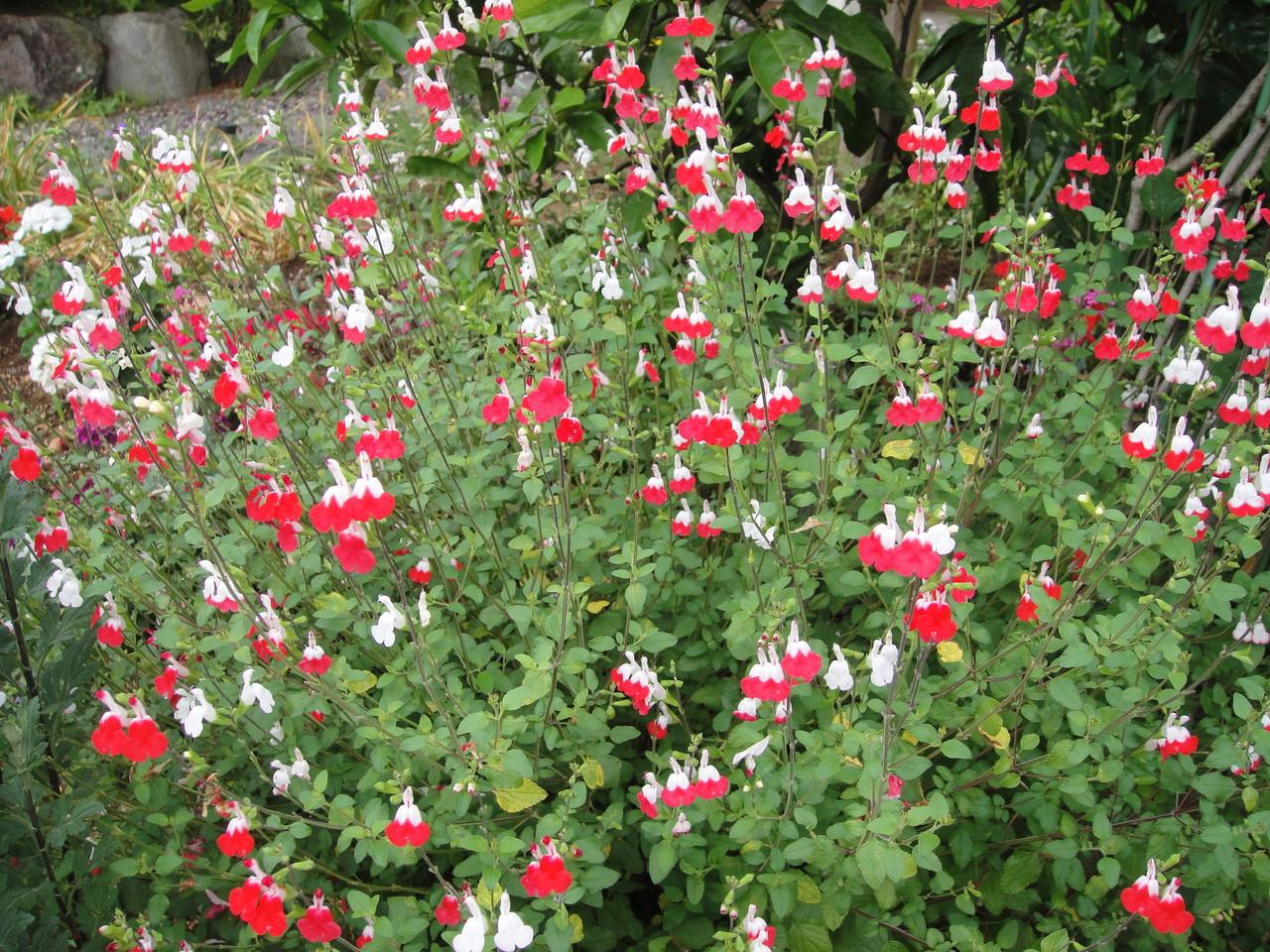 目の覚めるようなチェリー紅白の花、花も葉も甘くすばらしい香り、朝からうっとりしちゃいました。