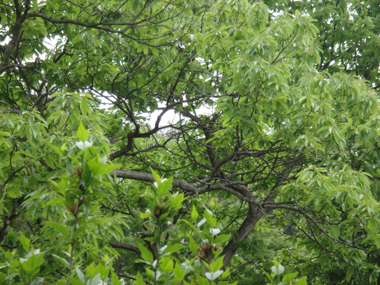 大きな栗の木この時期だけ黄緑色で、柔らかそうな葉っぱです。少し経つと強そうな緑の葉ぱになります