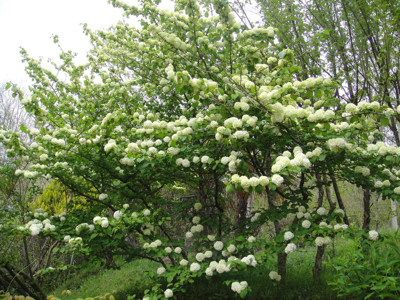 オオデマリの花は緑がかった白色の花を密集して手毬のような丸い形を作っている