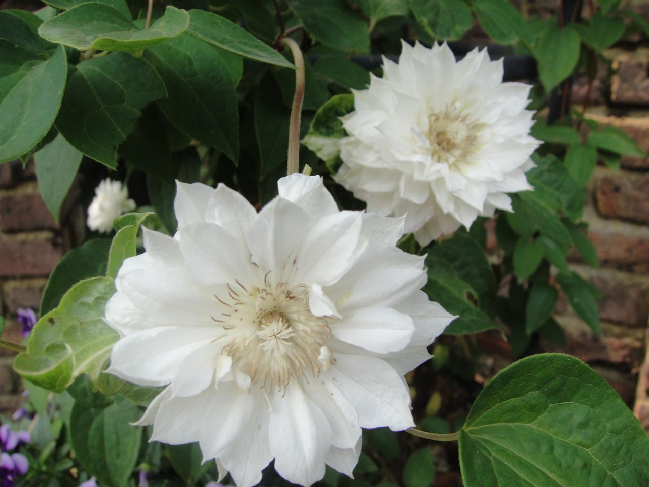八重咲きタイプは香りがありません。