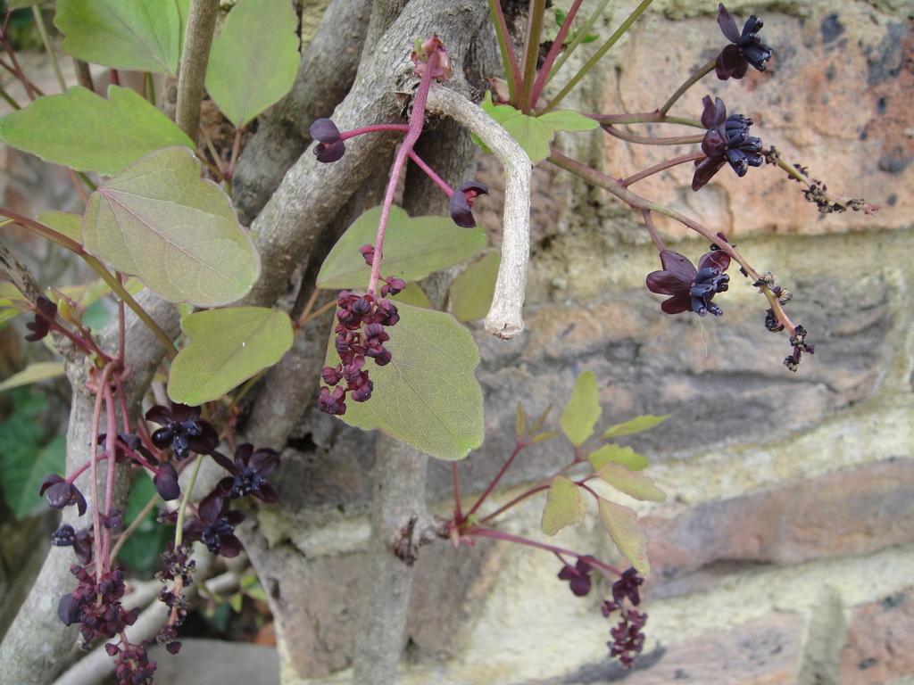 アケビの花大きな雌花と小さな雄花が、一緒に同じ木に咲きます。実が成熟する秋が楽しみですね。