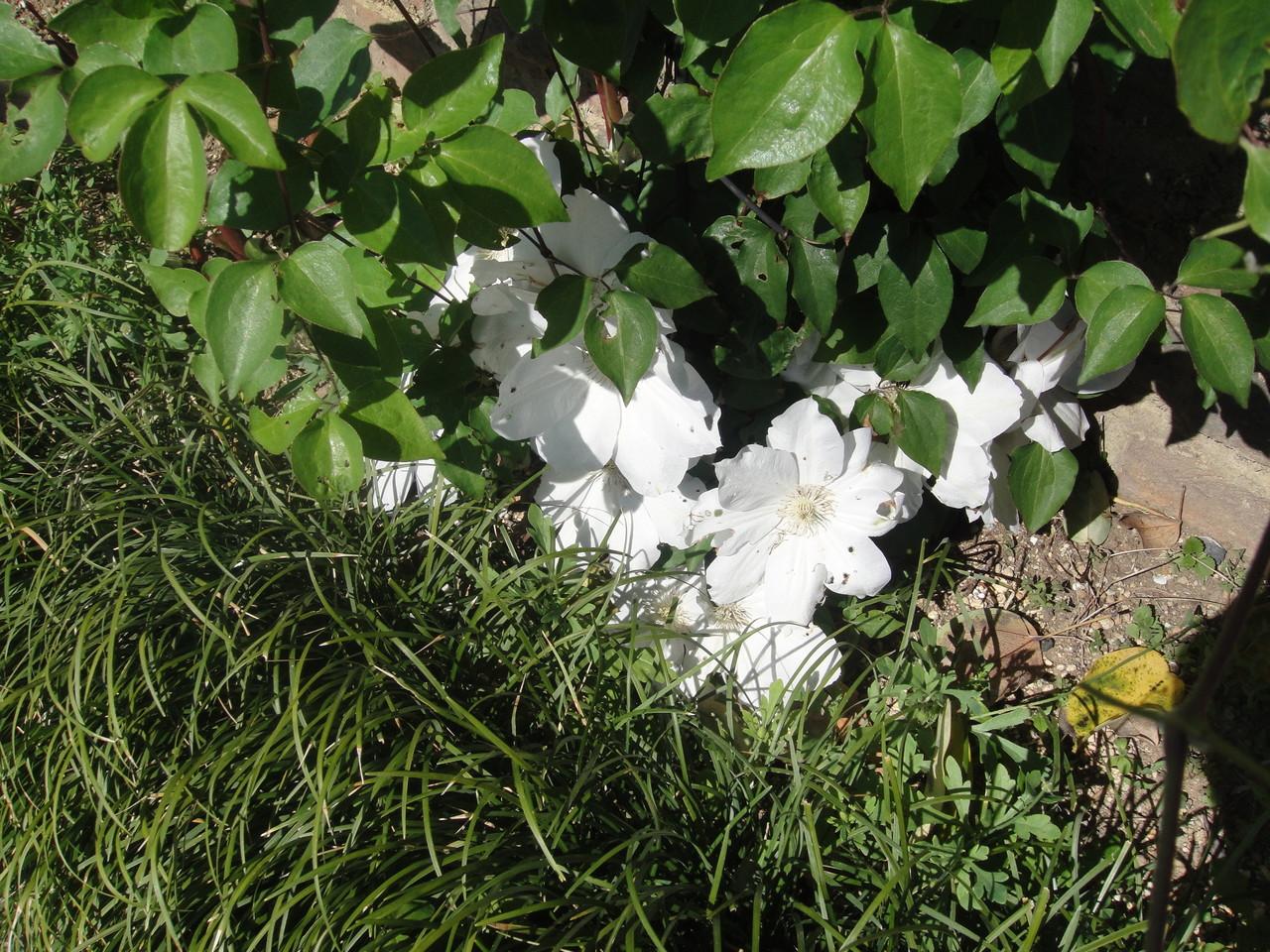 純白の花は、清楚で気品がありますね。