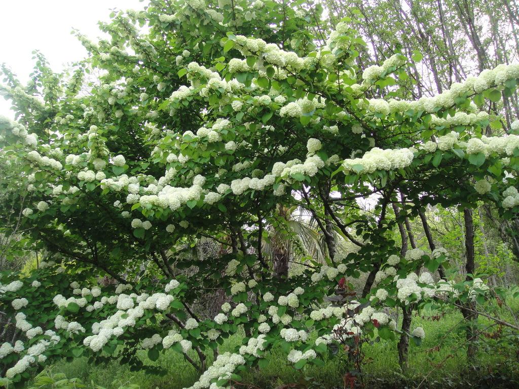 オオデマリ見事です。咲き始めは黄緑色で、開くと白い花に、なります