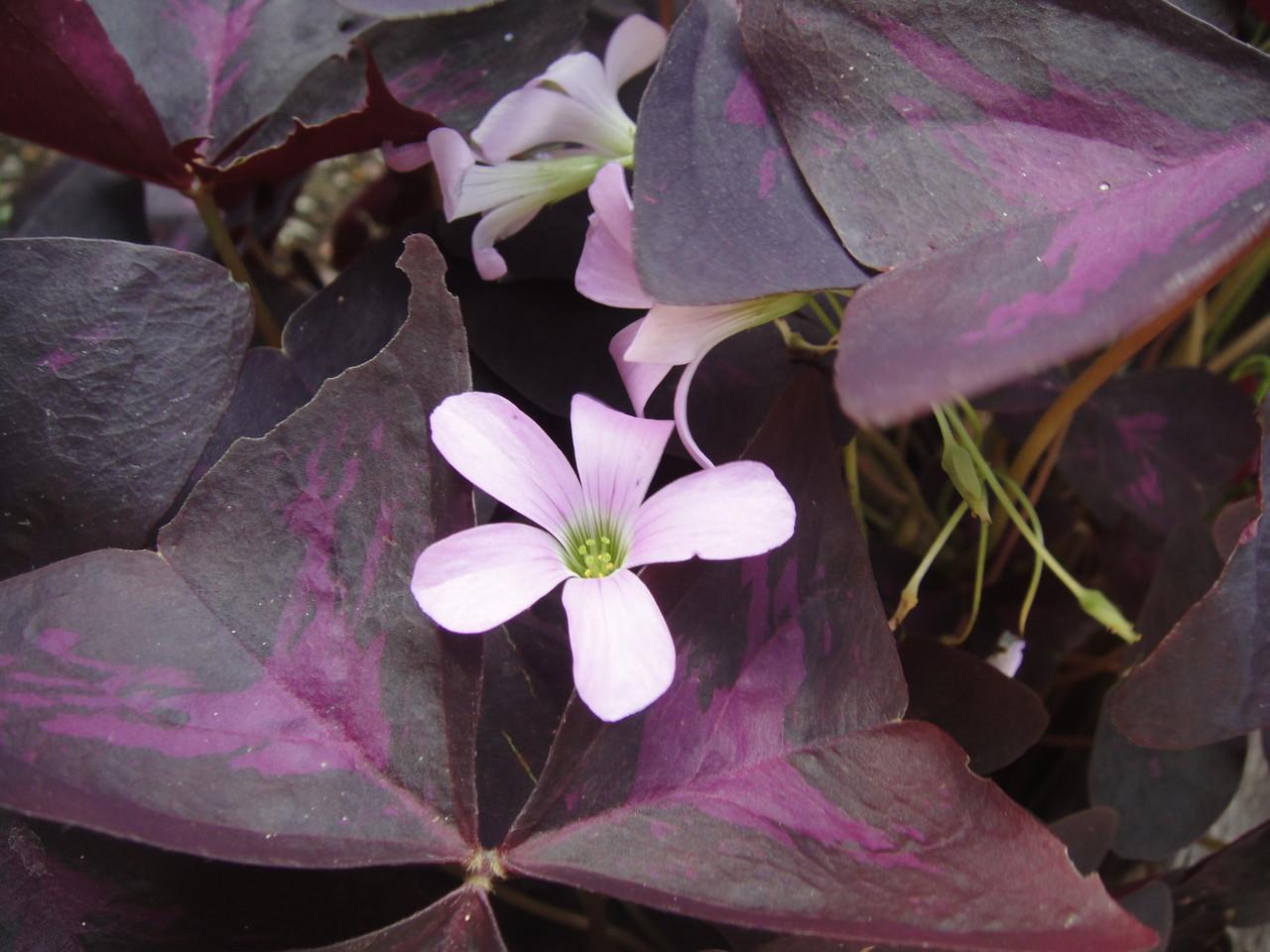 オキザリス得にこの種類が強い、抜いても②毎年思いもよらない所で花を咲かす