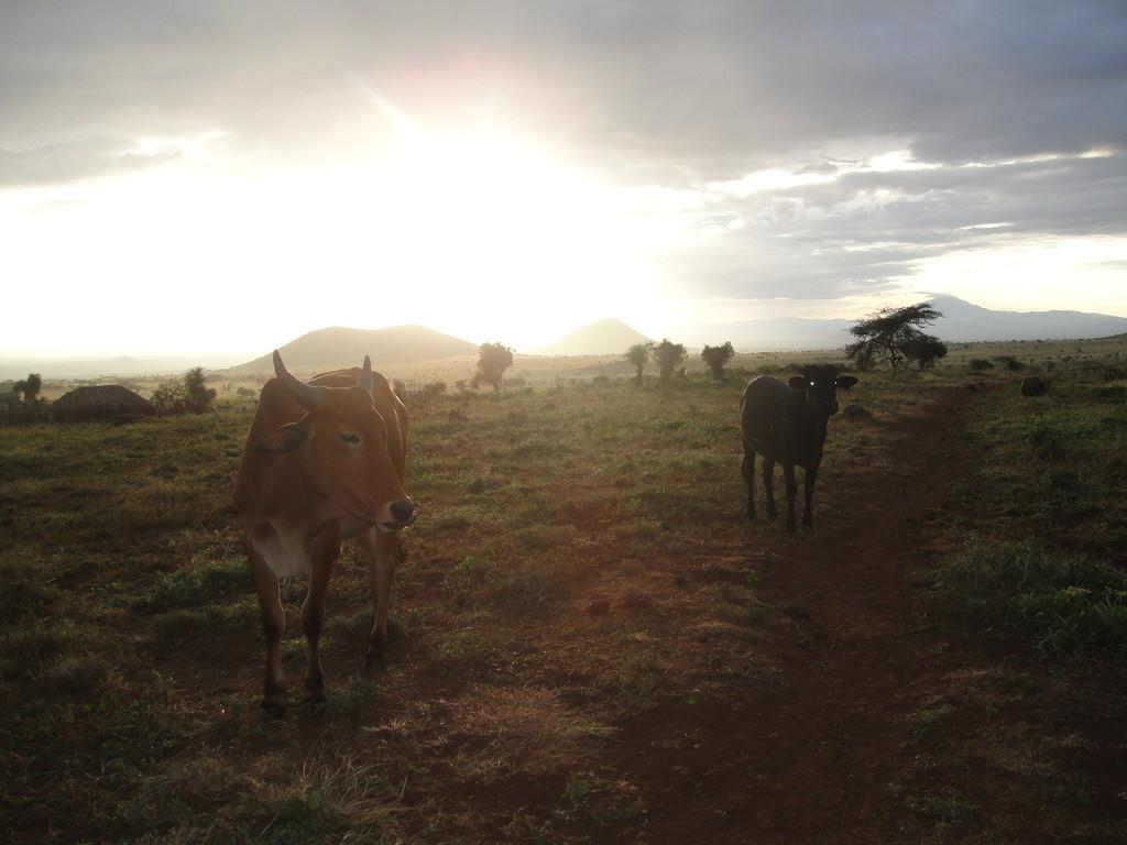 ンダラクワイのマサイ族の牛が、帰っていく