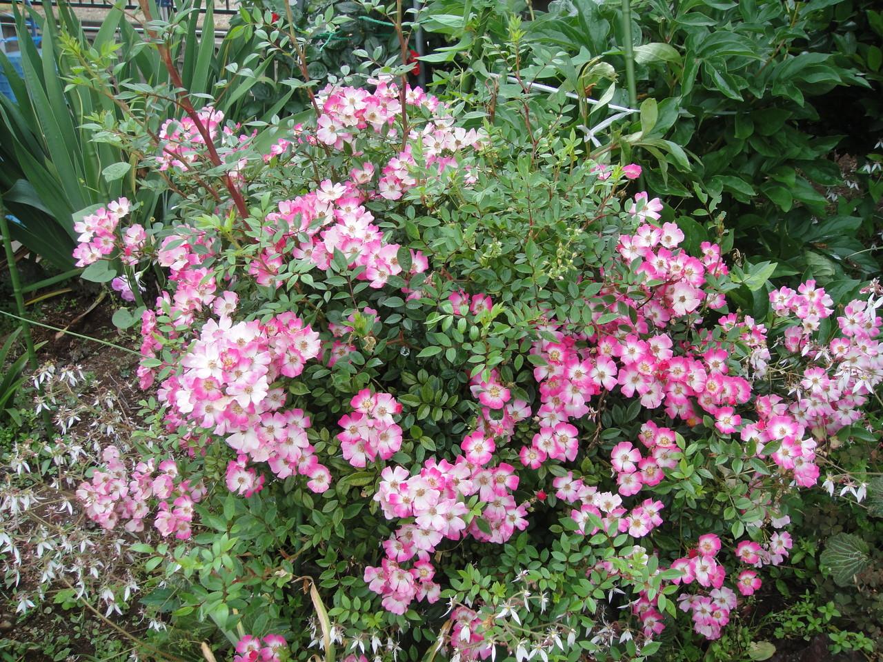 やっぱりバラは、消毒しないと綺麗に咲いてくれませんね。