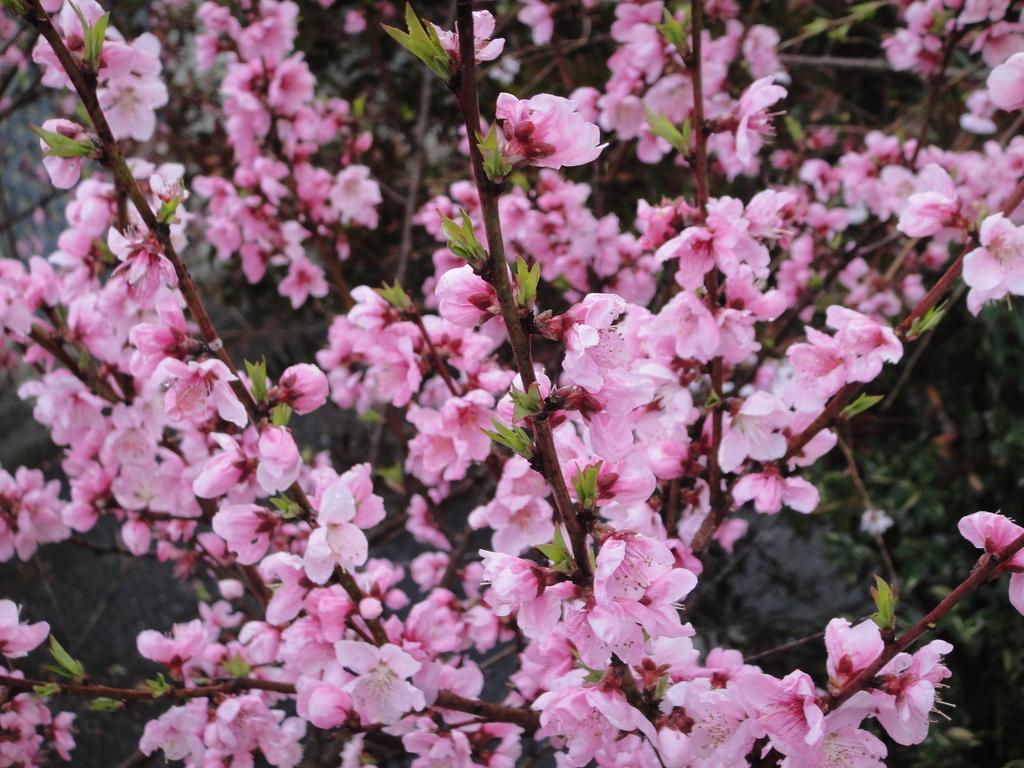 花桃の木原産地は、中国で、花を観賞するために、品種改良された花で、花つきが、びっくりするほど、よい