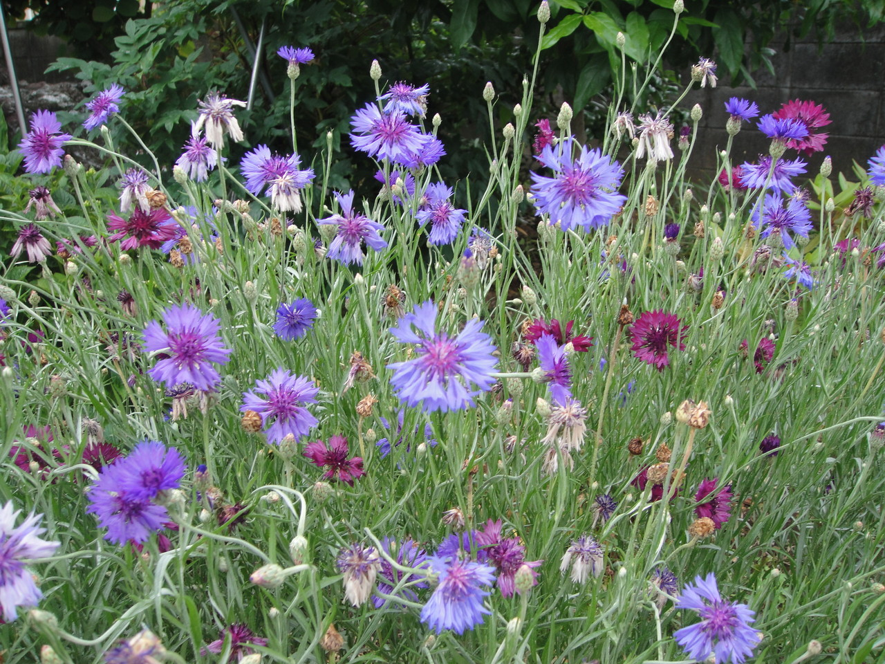 子供のころから庭先にいっぱい咲いてる花。何処となく懐かしい矢車草
