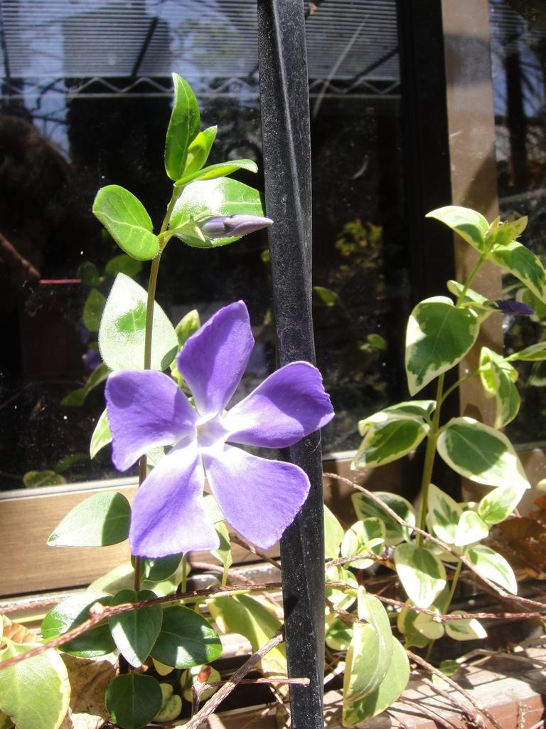 ツルニチニチソウ(蔓日々草、Vinca major)春から夏にかけて咲く