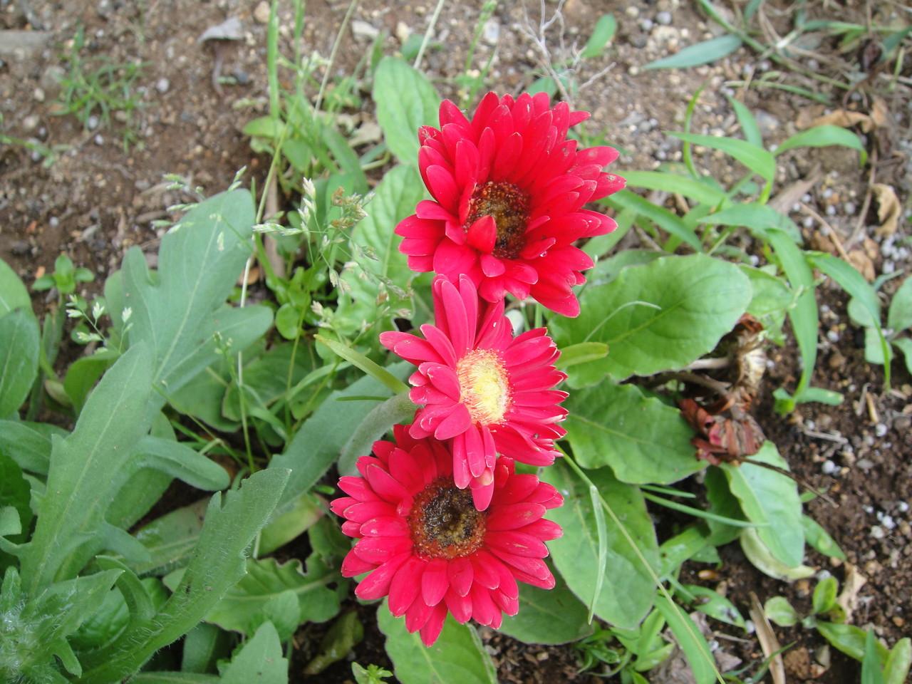 毎年でて、いつの間にか咲くと、目立つ宿根ガーベラの花