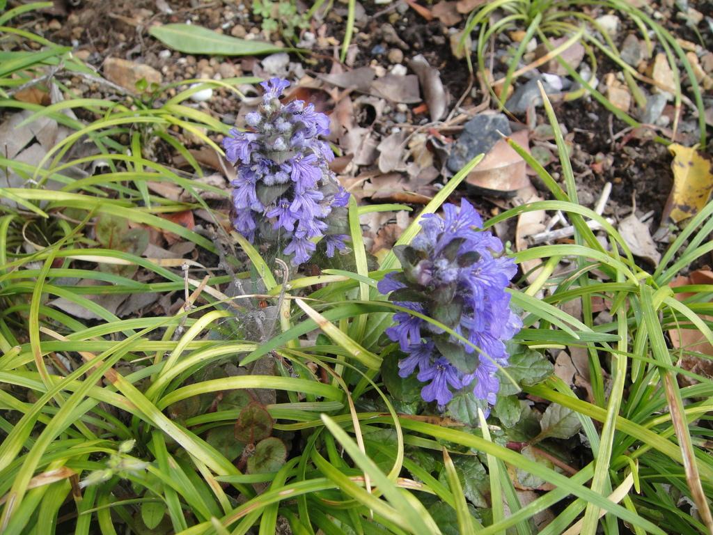 アジュカに花アジュガは耐寒性はあるので、地植えにして、大丈夫霜に当たっても春元気に、芽を出してきます。