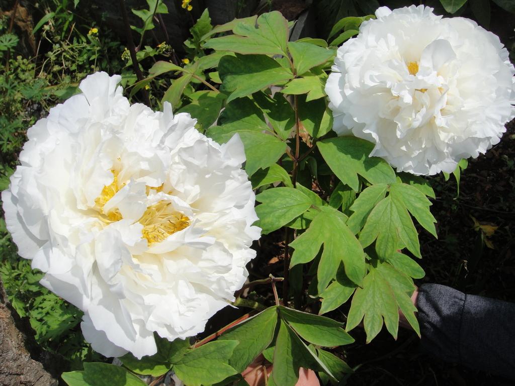 薄い花びらの質感が・・・見事な咲きっぷり