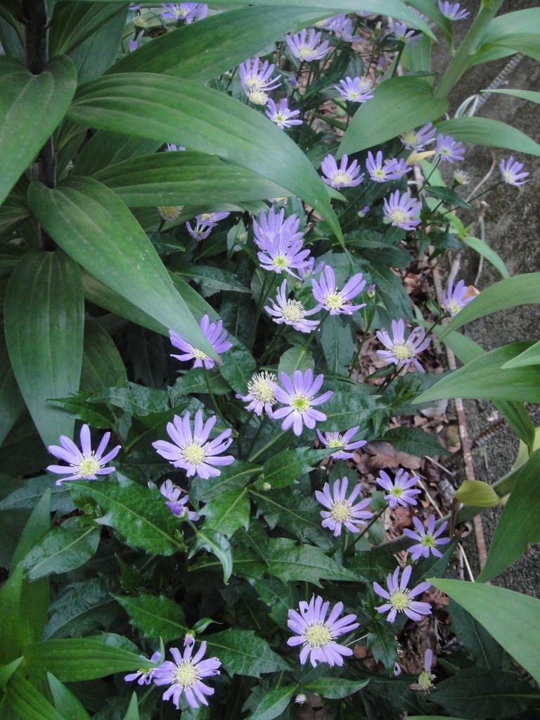 カサブランカの根元で、和風の花都忘れ。花言葉は「別れ」や「しばしの憩い」です。