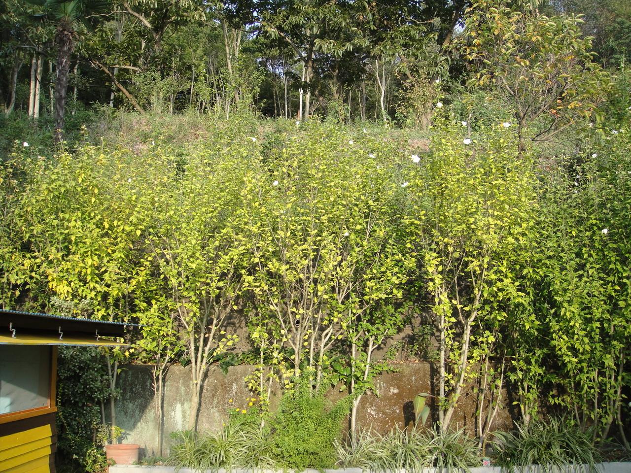 暑さや寒さにも強い丈夫でつくりやすい花木のムクゲ。水不足には勝てず枯れはしないものの葉は、黄色く花もほとんど咲きません