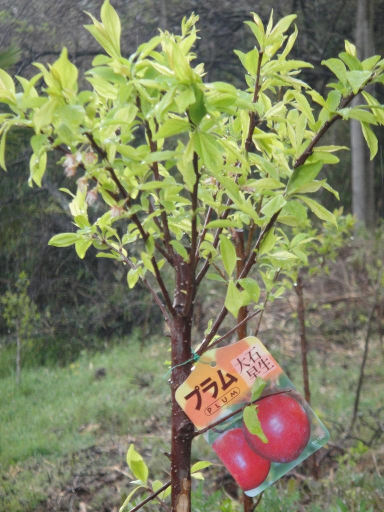 去年の秋に植えたプラムすももには毛細血管を強化したり、眼精疲労を回復するといわれているフラボノイド「アントシアニン」が多く含まれています。