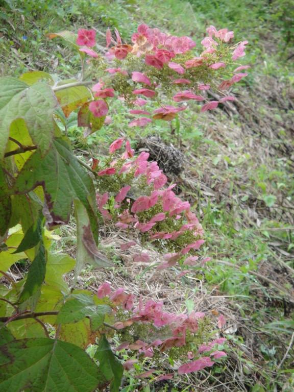 真夏に色が変わった柏葉アジサイ