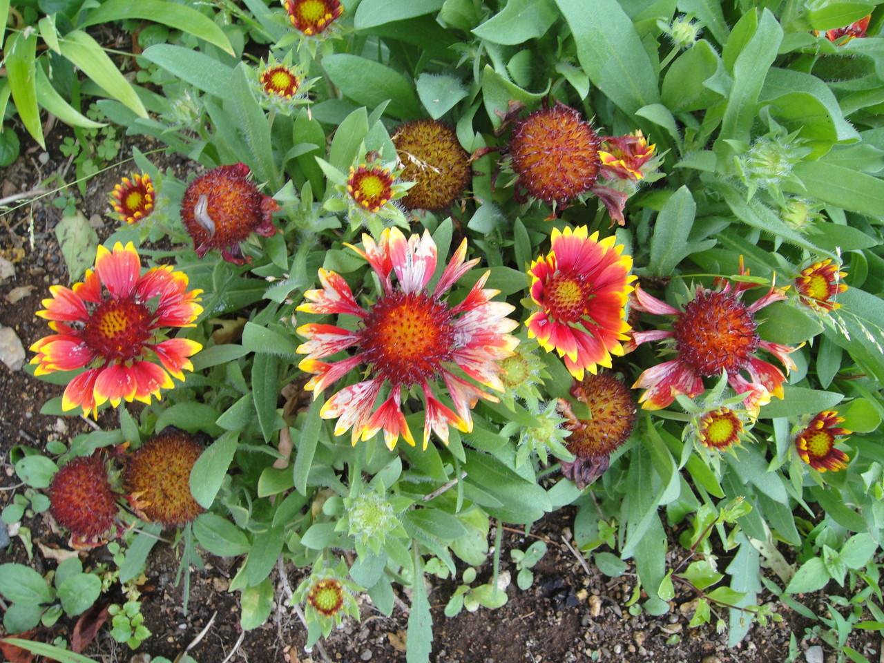 去年は、咲かないで今年はあちら此方で、?気まぐれな花です。
