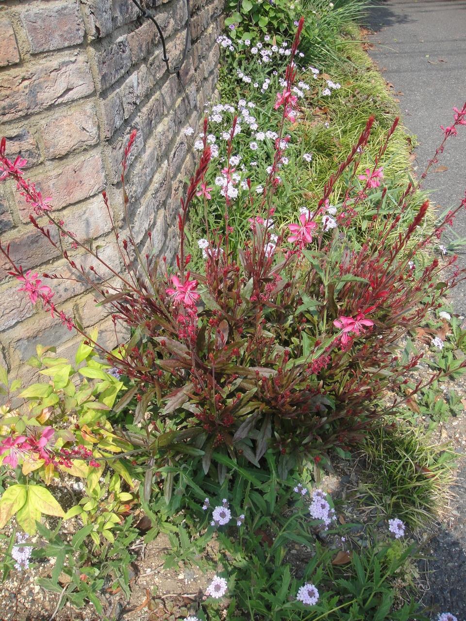 ガウラ(白蝶草)は暑さ寒さに強く、病害虫の心配もほとんどなく、育てやすい丈夫な植物です。