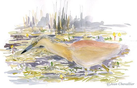 Crabier chevelu ( Ardeola ralloides ) au Lac du Der  en Été par Jean Chevallier