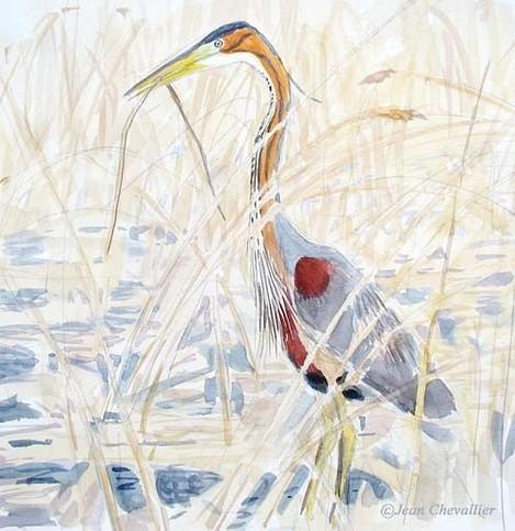 Héron pourpré (Ardea purpurea) en mai (aquarelle au Lac du Der par Jean Chevallier )