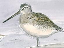 Bécassin à long bec ( Limnodromus scolopaceus ) au Lac du Der par Jean Chevallier (Septembre 2009)