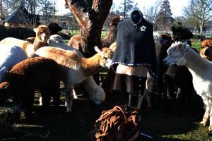 Alpakas begutachten das neue Cape