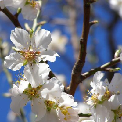 Mandelblüte auf Ibiza