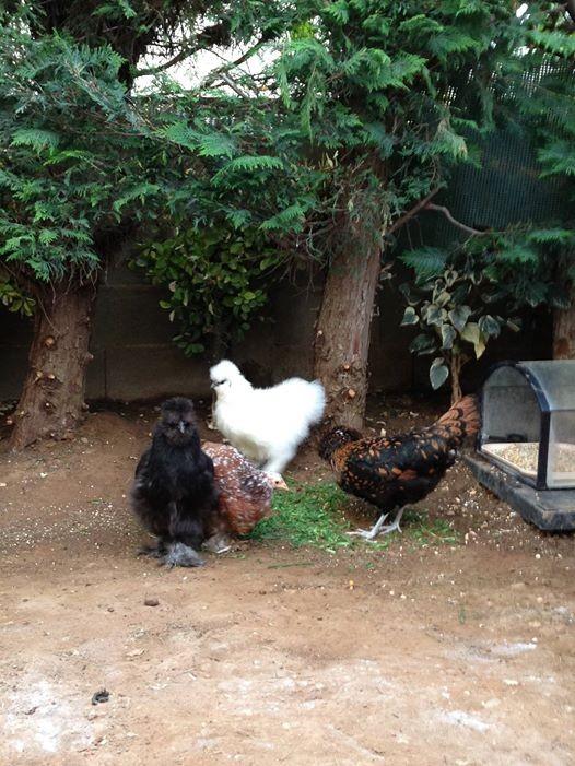 Les poulettes de Raymonde!