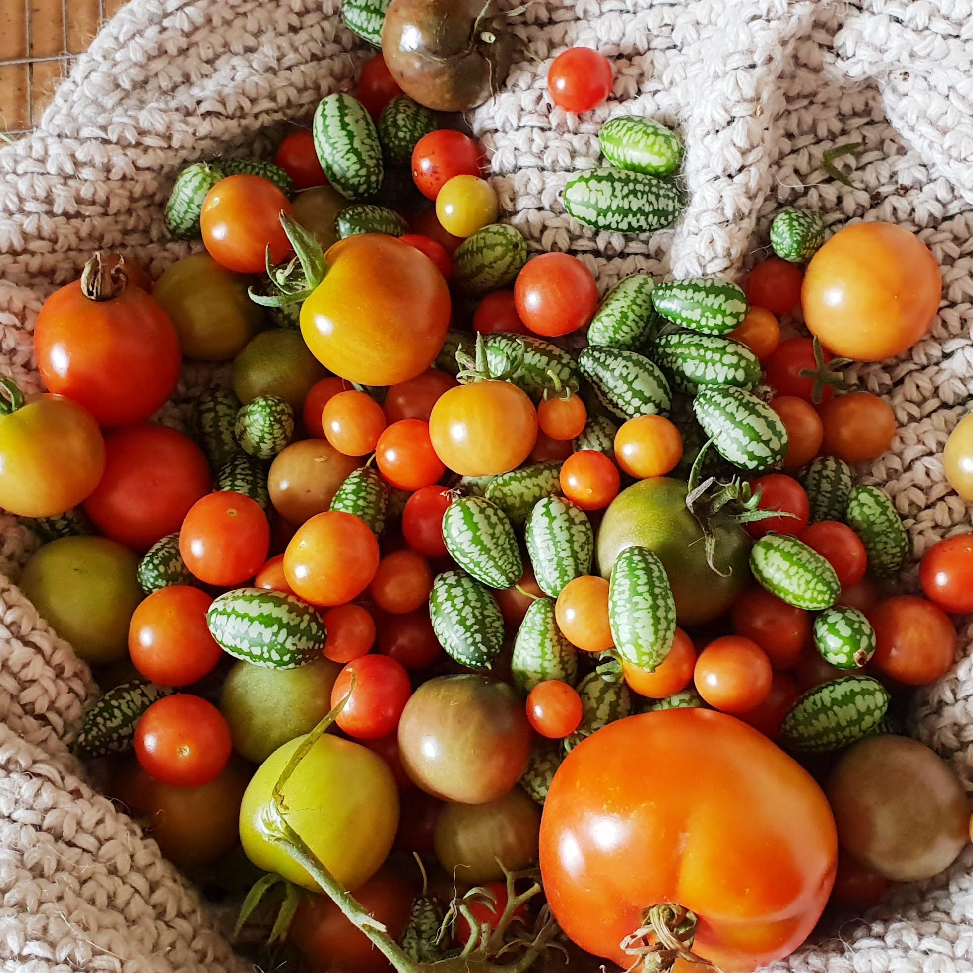 Selbstgesäte Tomaten beginnen im September zu reifen.