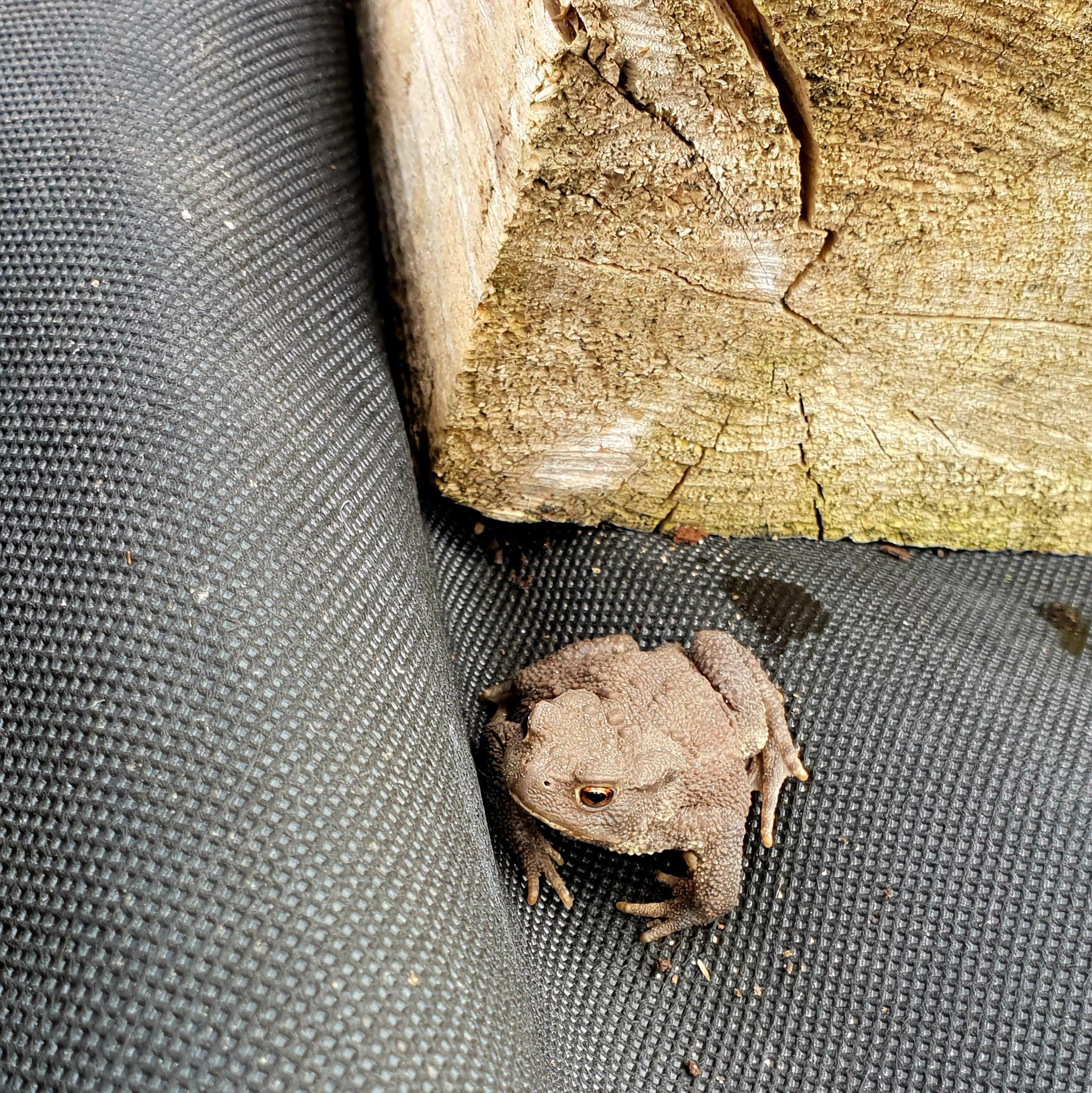Kröte finden im Komposthaufen und unter Mulch Unterschlupf.
