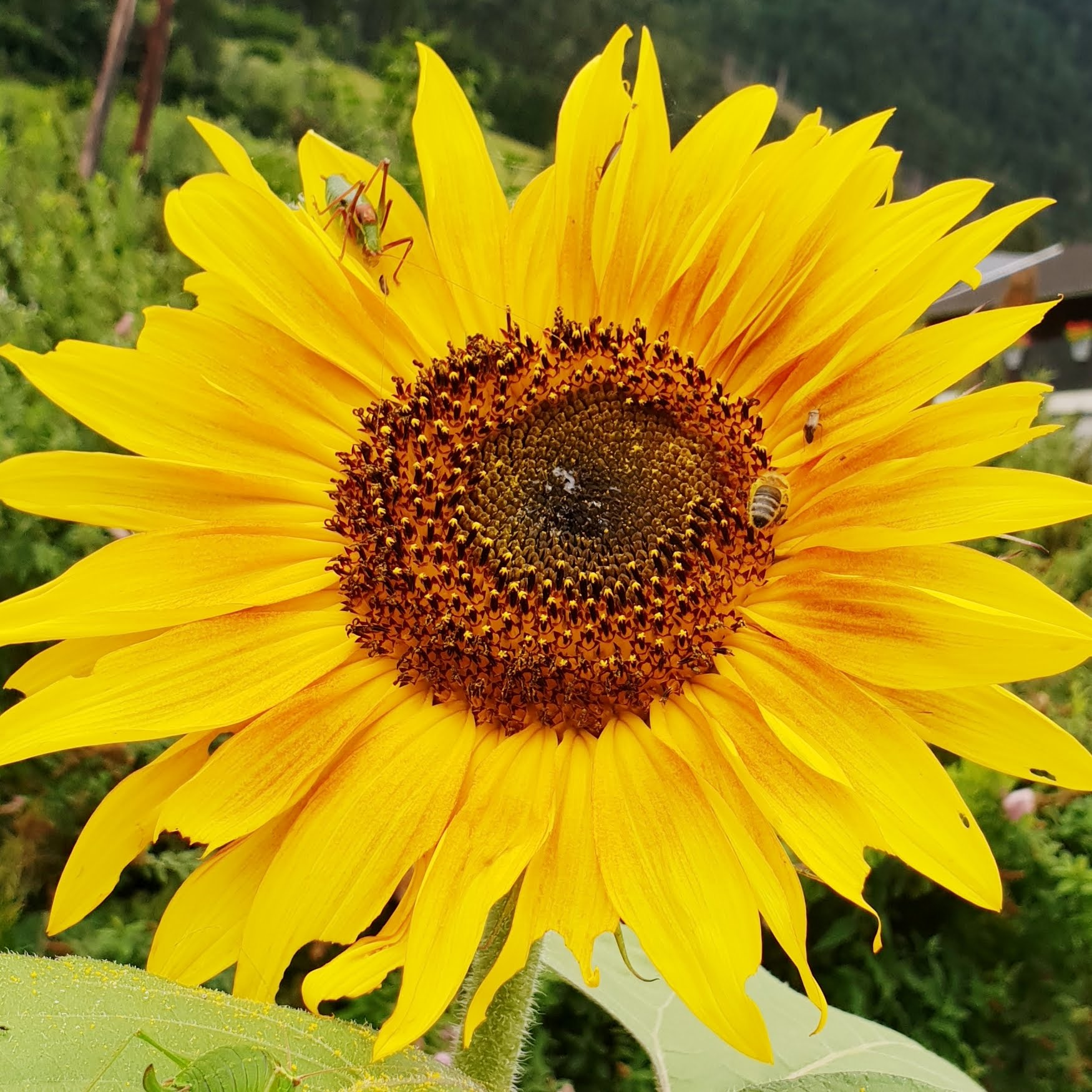 Sonnenblumen halten Bienen gesund.