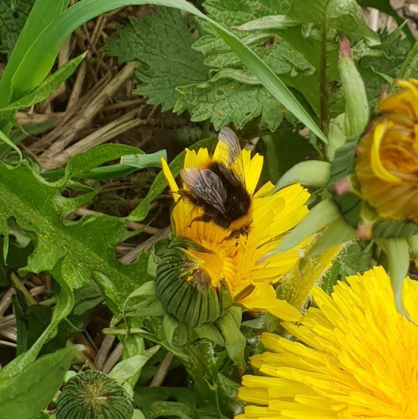 Wildbienen sind genauso wie Honigbienen mir wichtig.