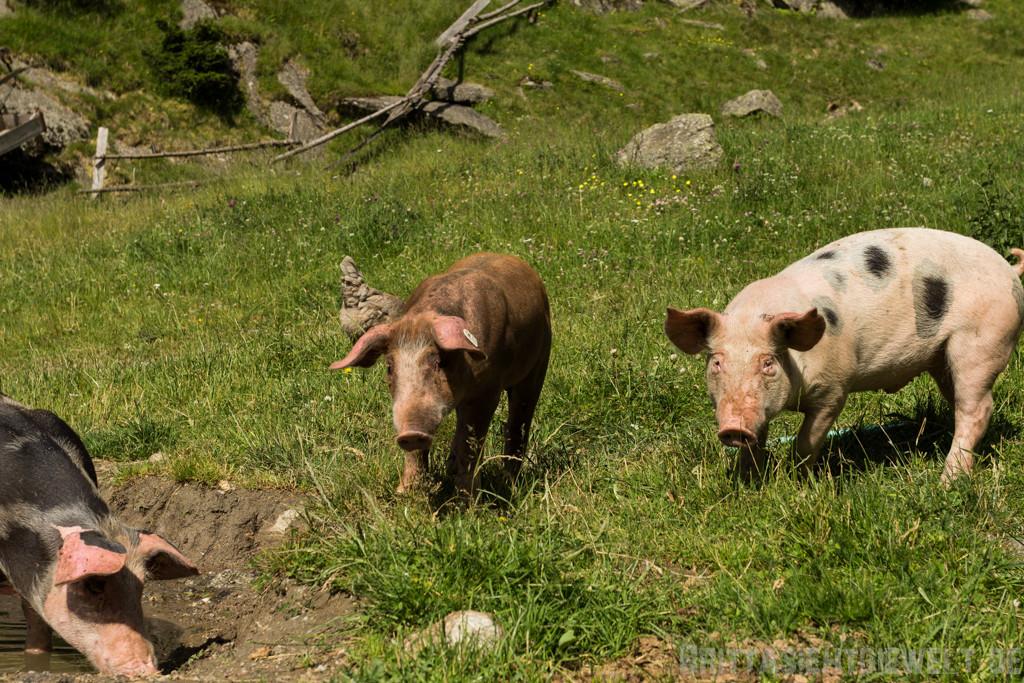 Schweine und...