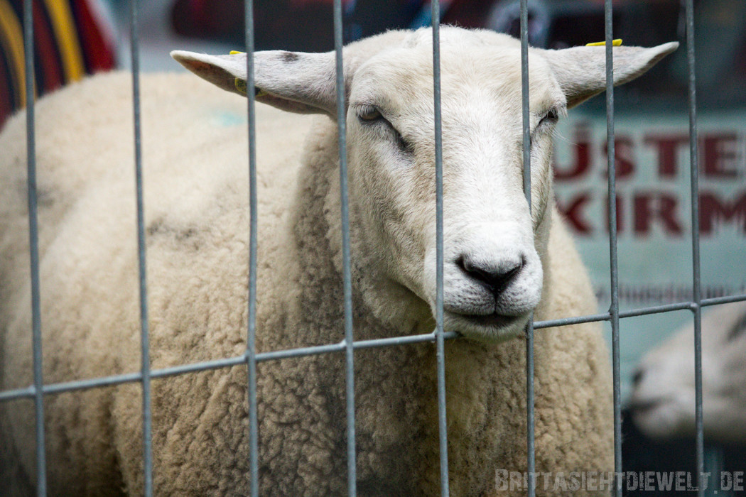 Schaf: Gitter sind nicht schön, außer wenn einem der Kopf schwer wird!