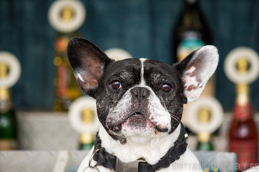 Hier bin ich der Chef! (Ich glaube, das ist eine französische Bulldogge :o)