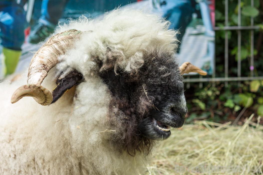 eine Sorte Schaf