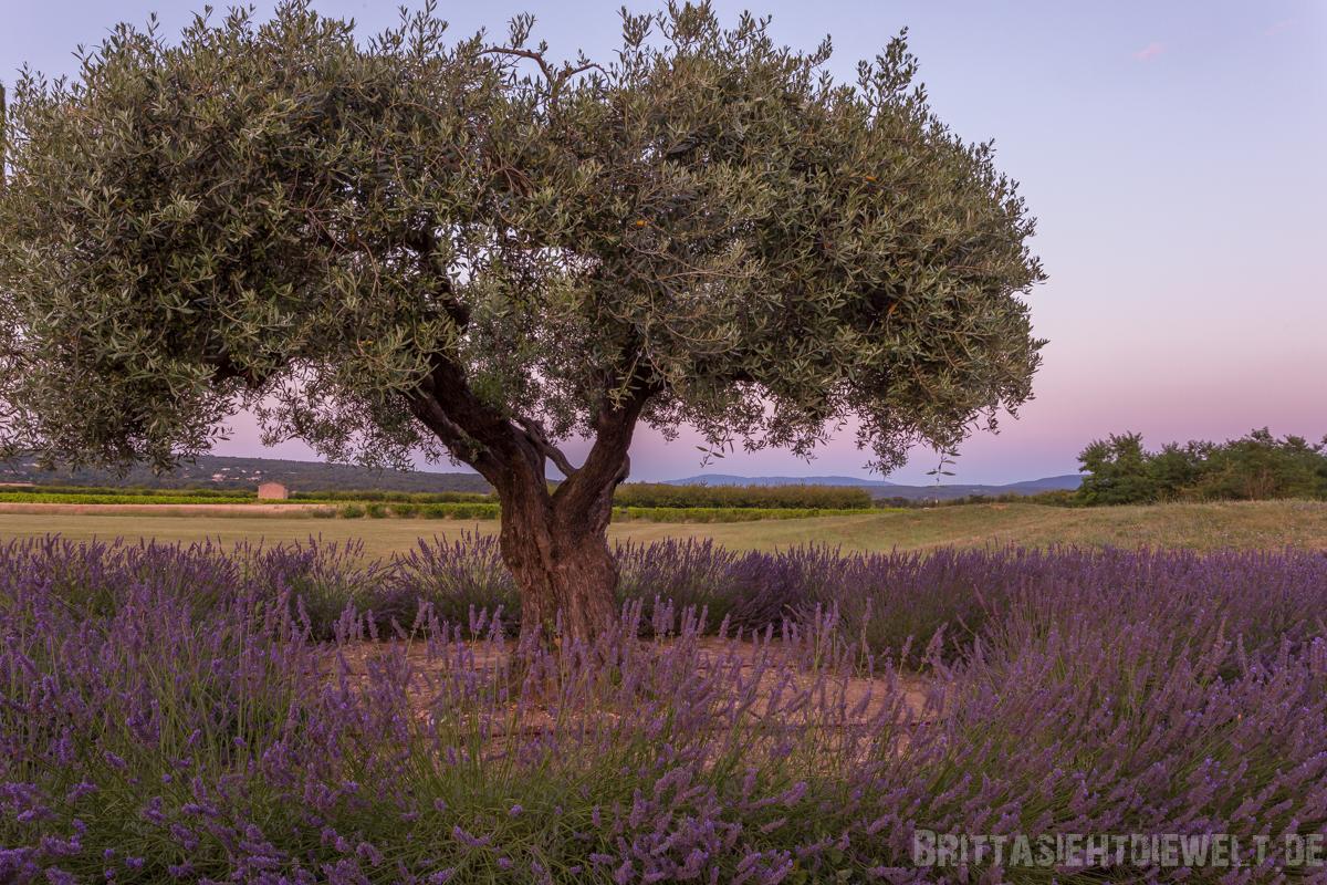 lavendel, lavendelblüte, luberon, reisetipps, lavendelfelder, wanderung, wandern, sommer, infos, selbstgeplant, frankreich, provence