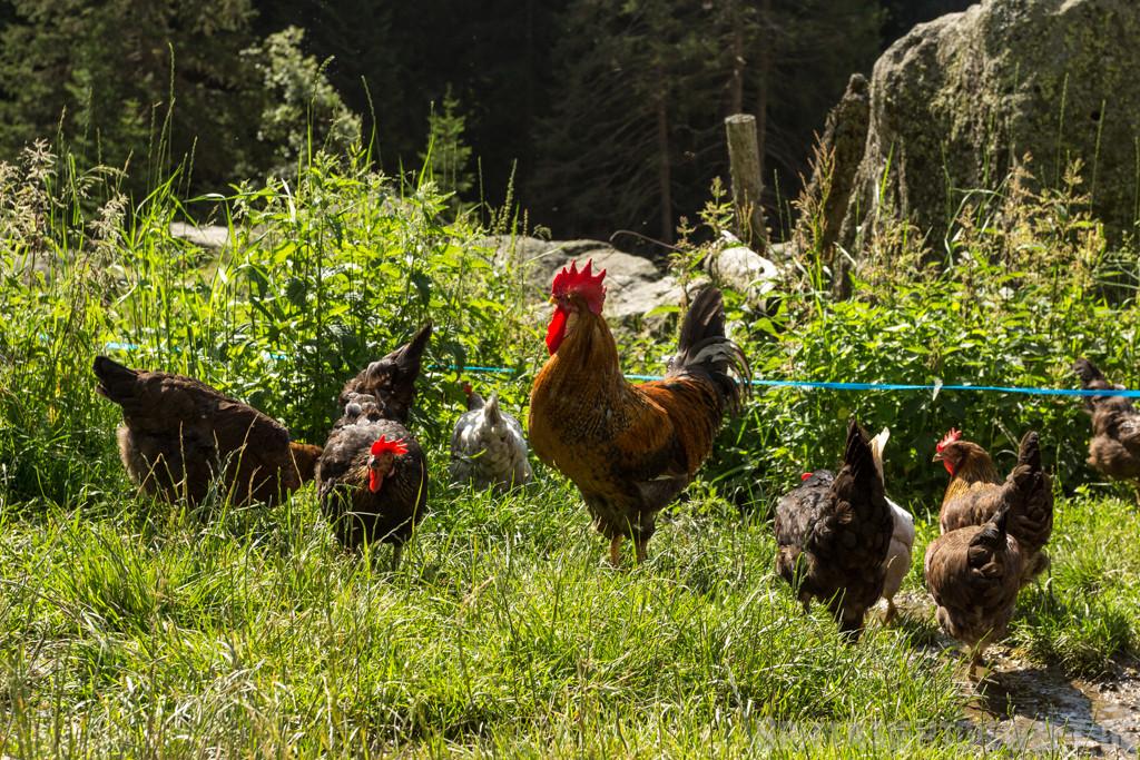 ...Hühner auf der Alm der Nassereithütte