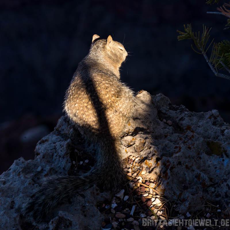 squirrel,grand,canyon,southrim,southkaibabtrail,arizona,colorado,tipps