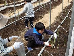 初めてのアスパラガスの収穫!長さも太さもばっちり!