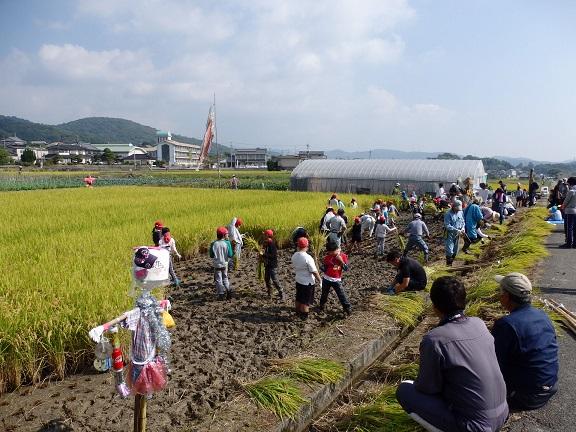 力を合わせて刈り取った稲を集めます。