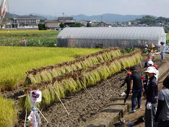 みんなで刈り取った稲がずらり!!