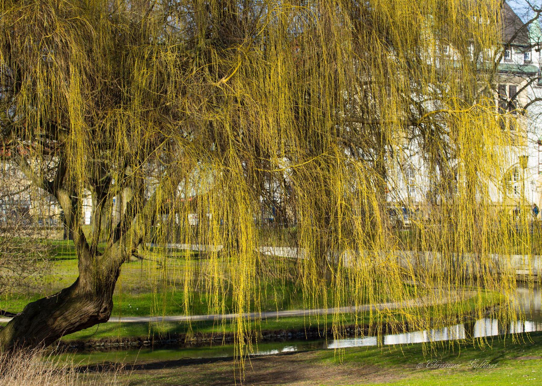 Trauerweide im Celler Schlosspark