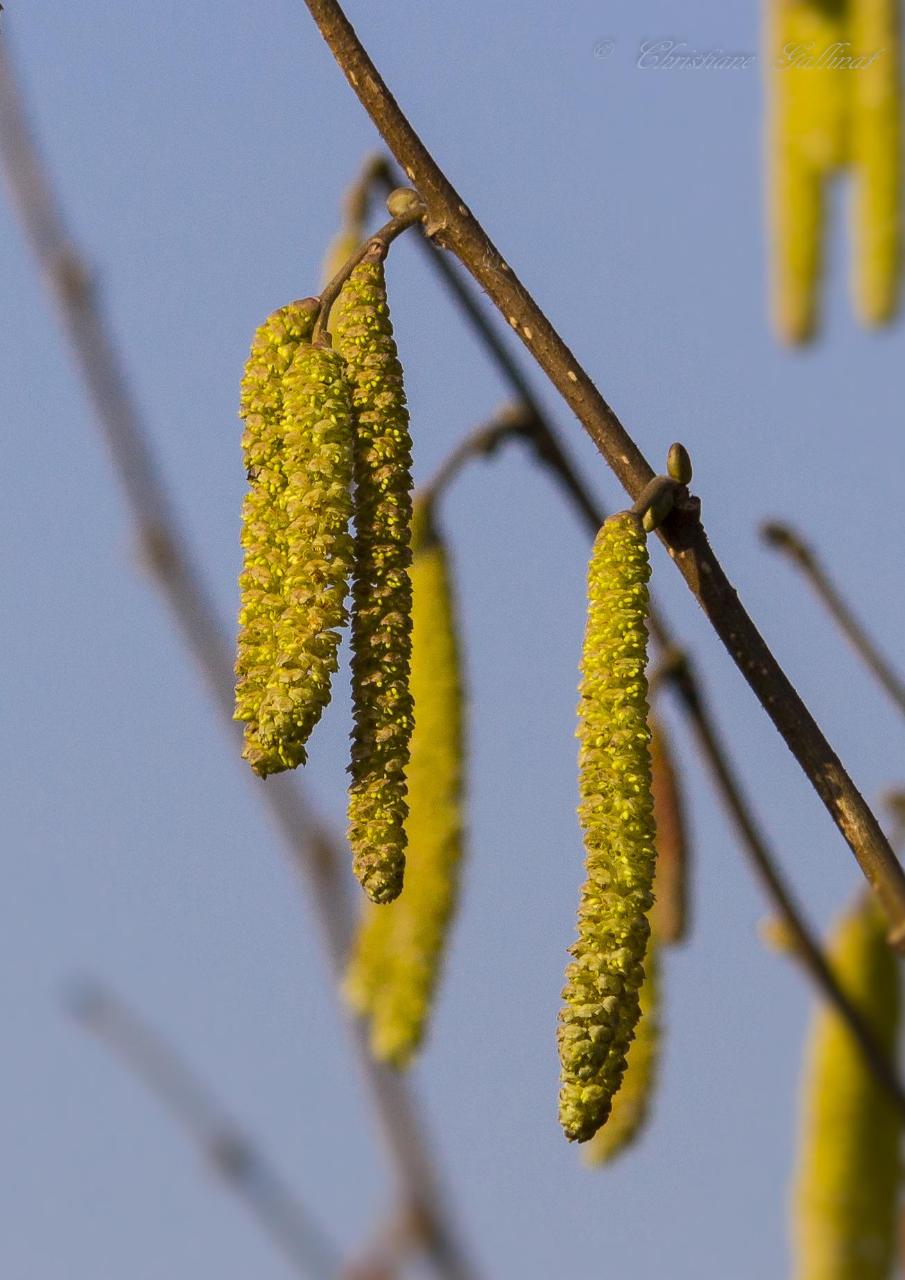 Hasel HATSCHI / Pollenflug hat eingesetzt