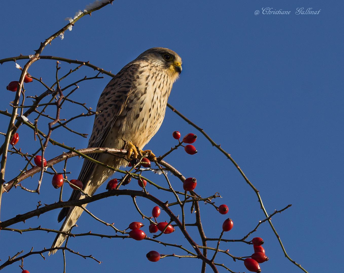 Turmfalke, kein Singvogel auch eine Zugabe ;)