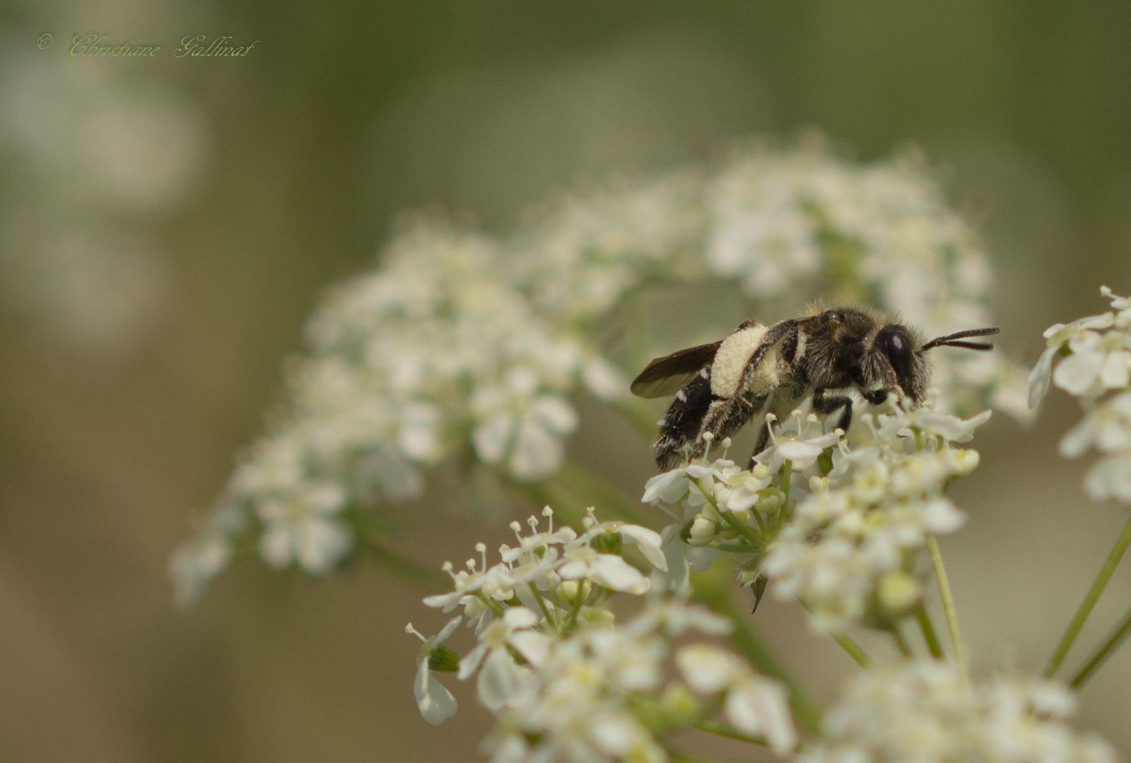 Biene im Sonntagsanzug