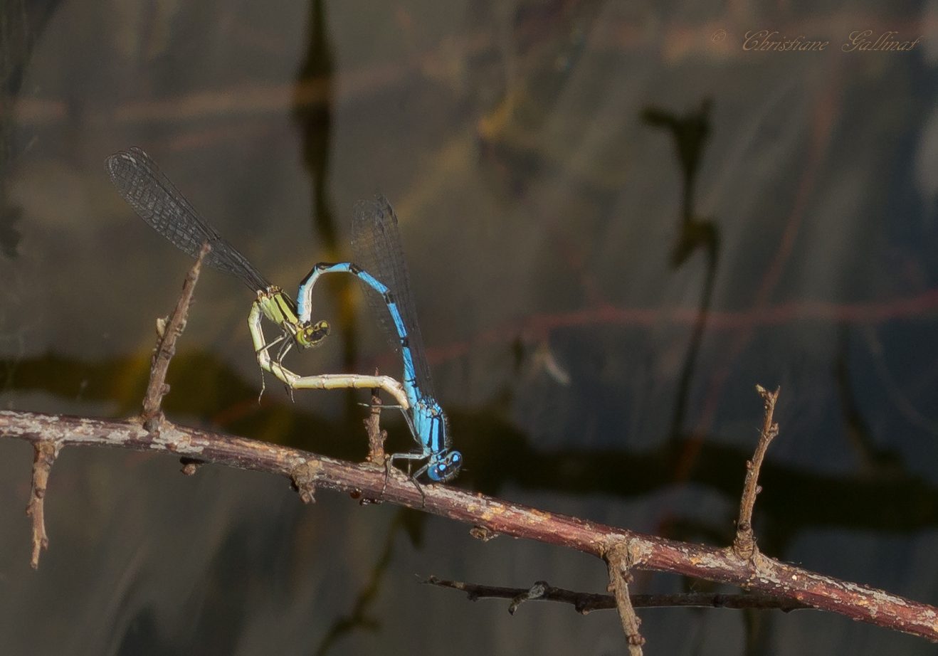Libellen Herz