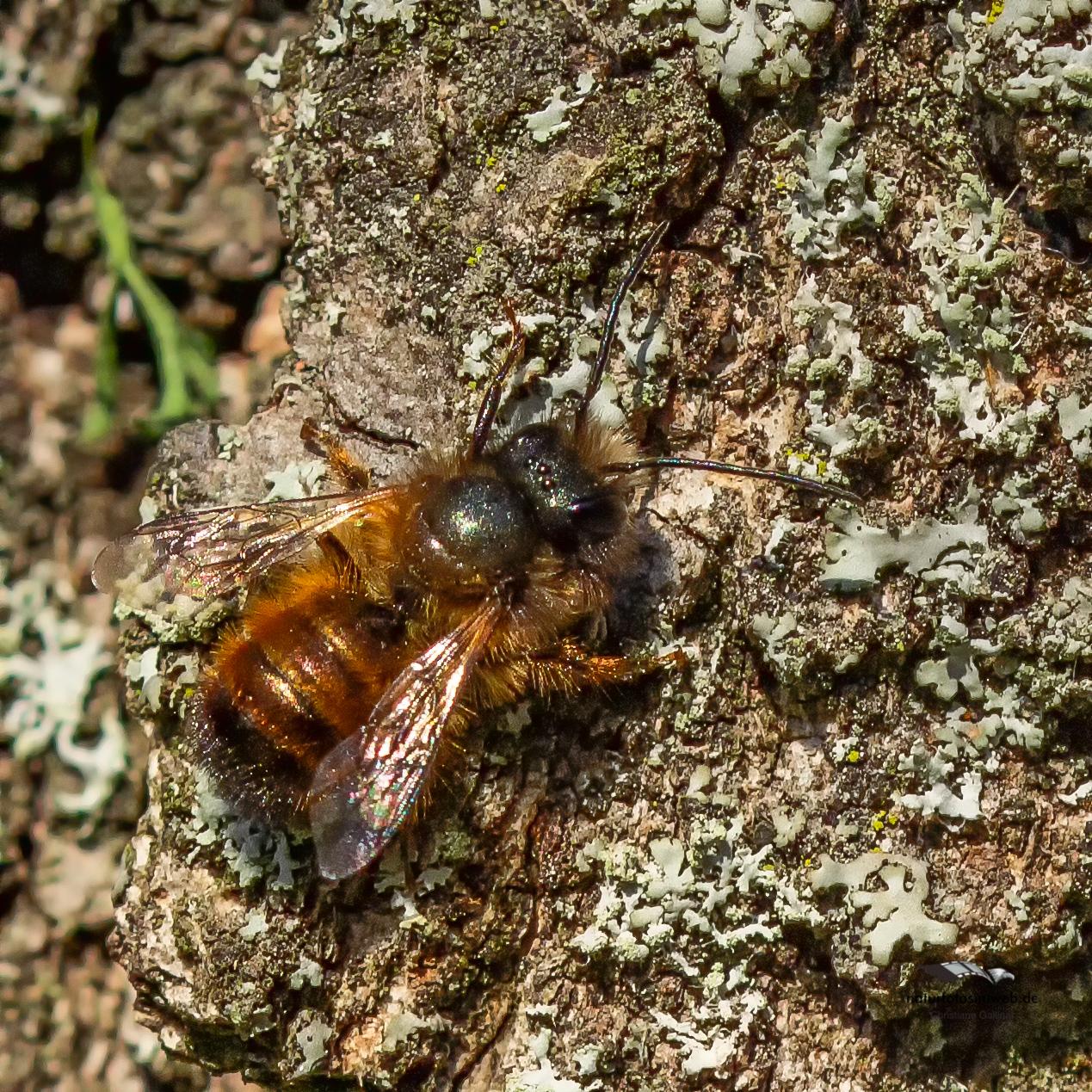 Wildbienenprojekt Streuobstwiese